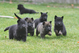 The Amazing Facts You Need to Know about Black German Shepherd Puppies