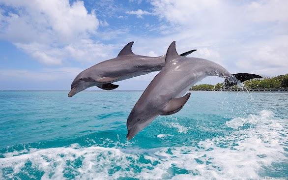Common Bottlenose Dolphins Jumping (Roatan, Honduras)