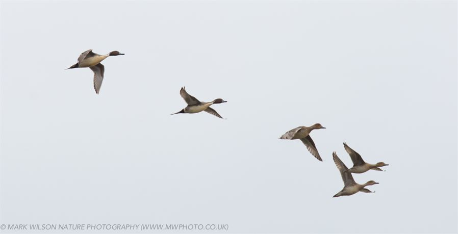 MONTGOMERYSHIRE BIRDS: Whoopers and LCYD 6th March