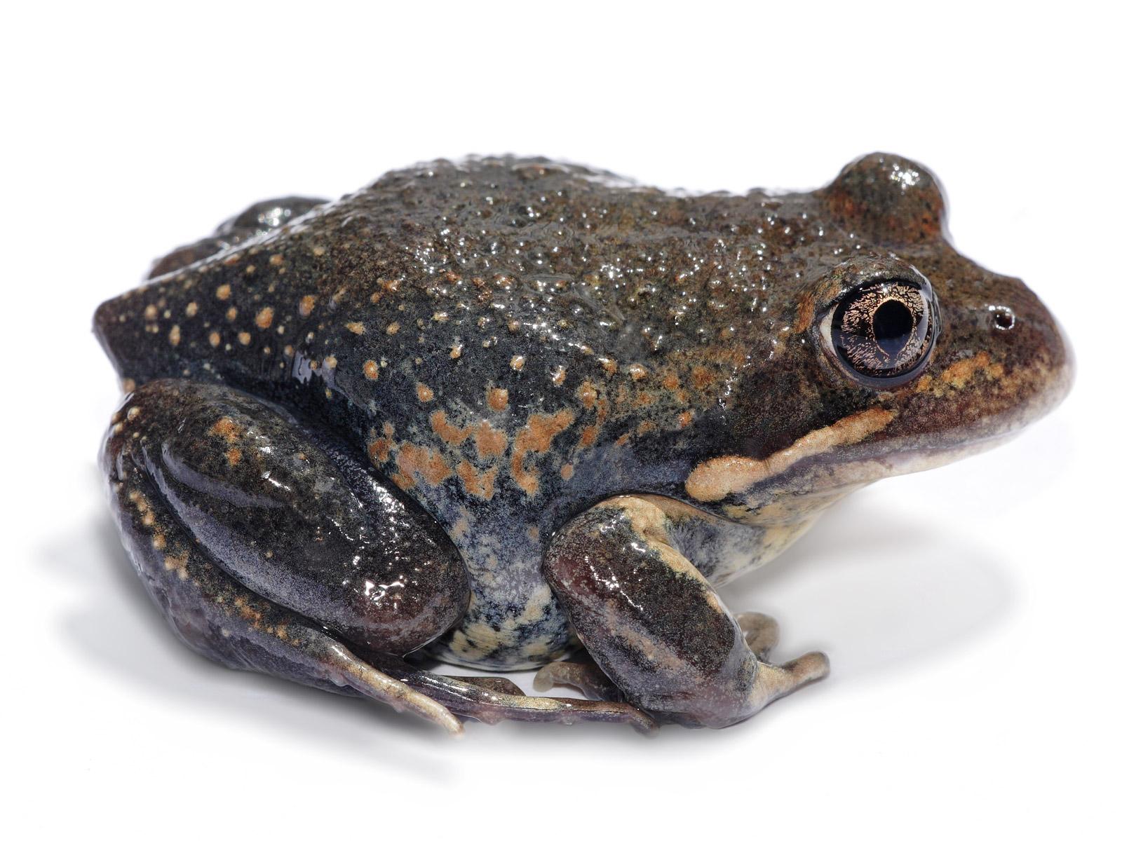 Amphibians: Eastern banjo frog white bg
