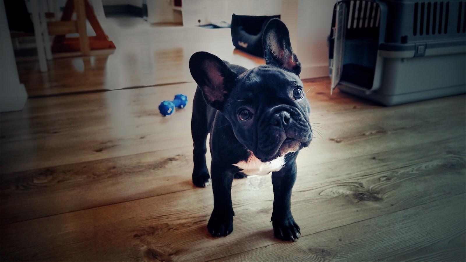 Eine französische Bulldogge namens Bentley steht vor seiner Transportbox auf einem Holzboden hinter dem Hund liegt Hundespielzeug