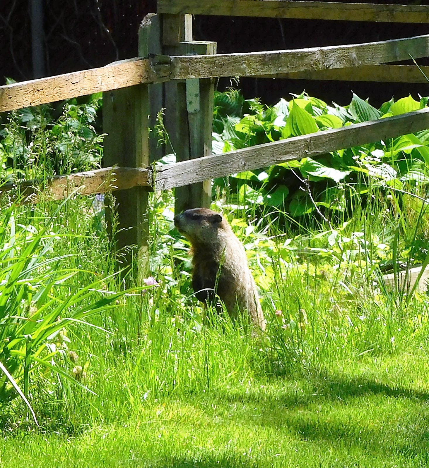 The Other Day I Spotted This Groundhog