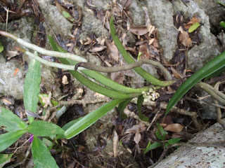 Acampe pachyglossa orchid plant care and culture