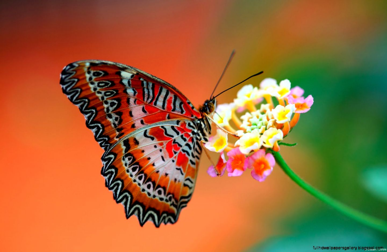 Live Butterfly Wallpaper | Full HD Wallpapers