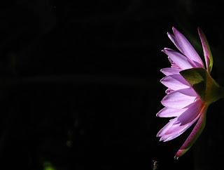 Gambar Bunga Teratai Terindah di Dunia 15