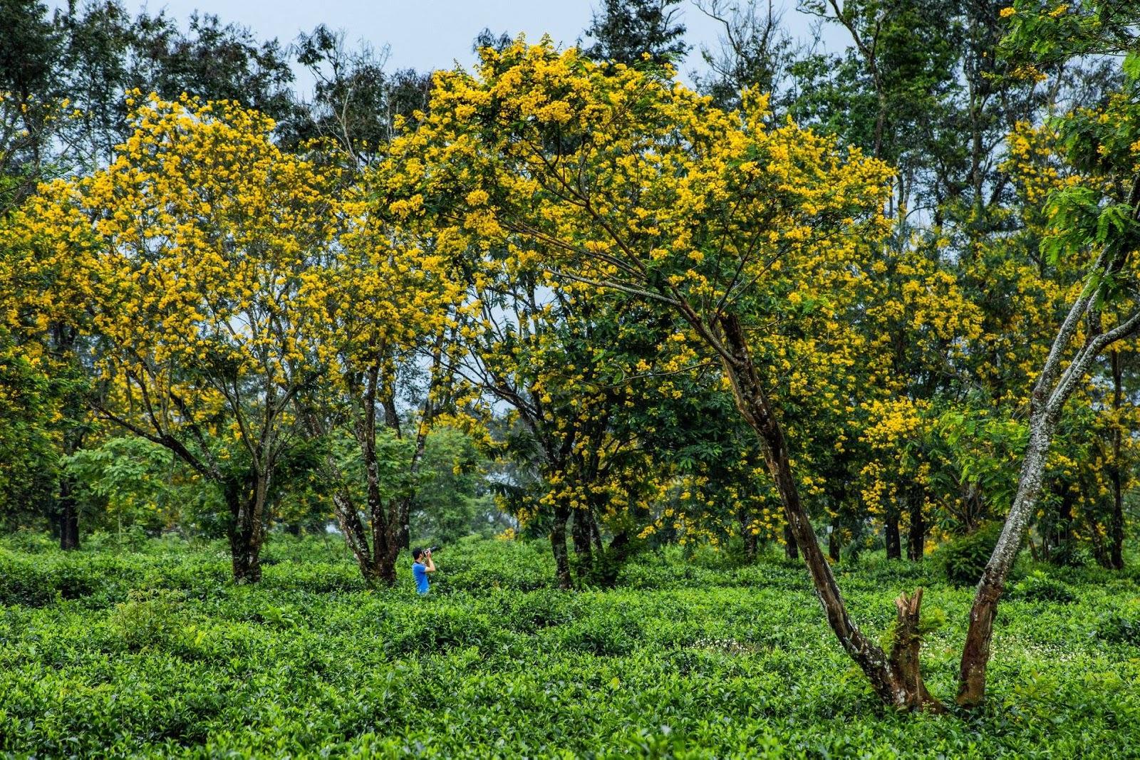 Gia Lai: Cơn sốt mang tên 'hoa muồng vàng'