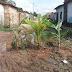 Alô Chico Velho: moradores plantam bananeiras, em protesto, pelas péssimas condições das ruas.