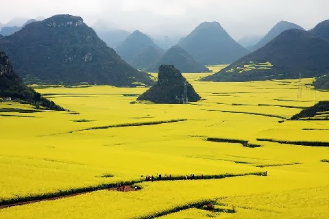 Canola repceföldek, Kína