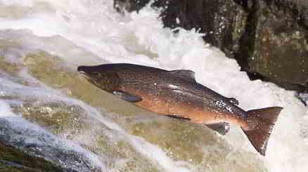 Gambar ikan salmon hidup dan utuh