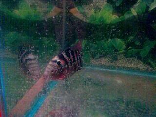 Flowerhorn Cichlid Fish | Care Breeding Tips | Food Types ...