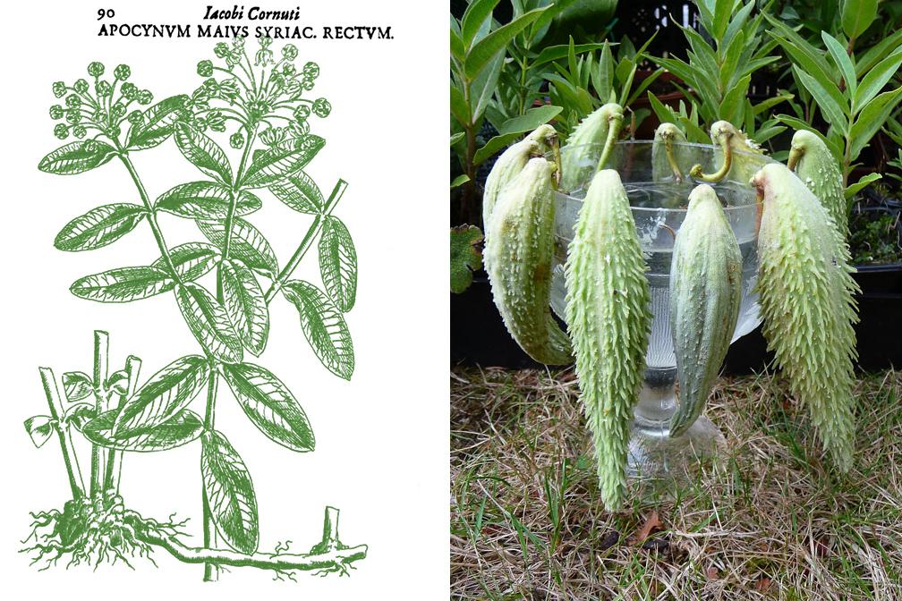 Flora urbana ascl piade commune asclepias syriaca for Plante 1 euro paris