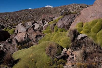 desert trekking: llareta between the rocks