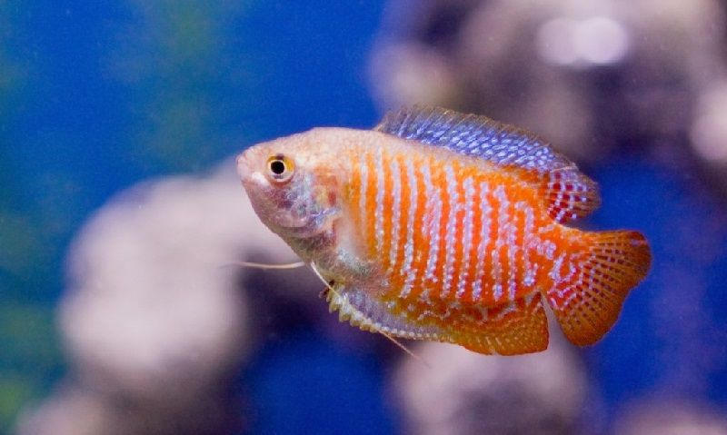 47. Jenis Ikan Hias Aquascape Dwarf Gourami