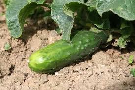 fruiting outdoor cucumber