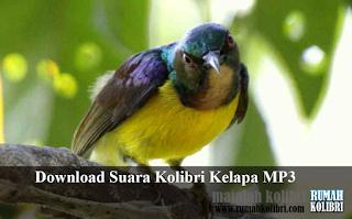 download suara kolibri manggar wiceh gacor