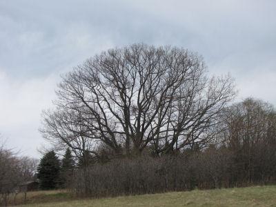 spreading maple tree