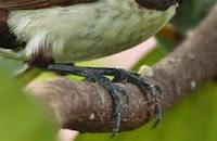 bentuk kaki burung pipit