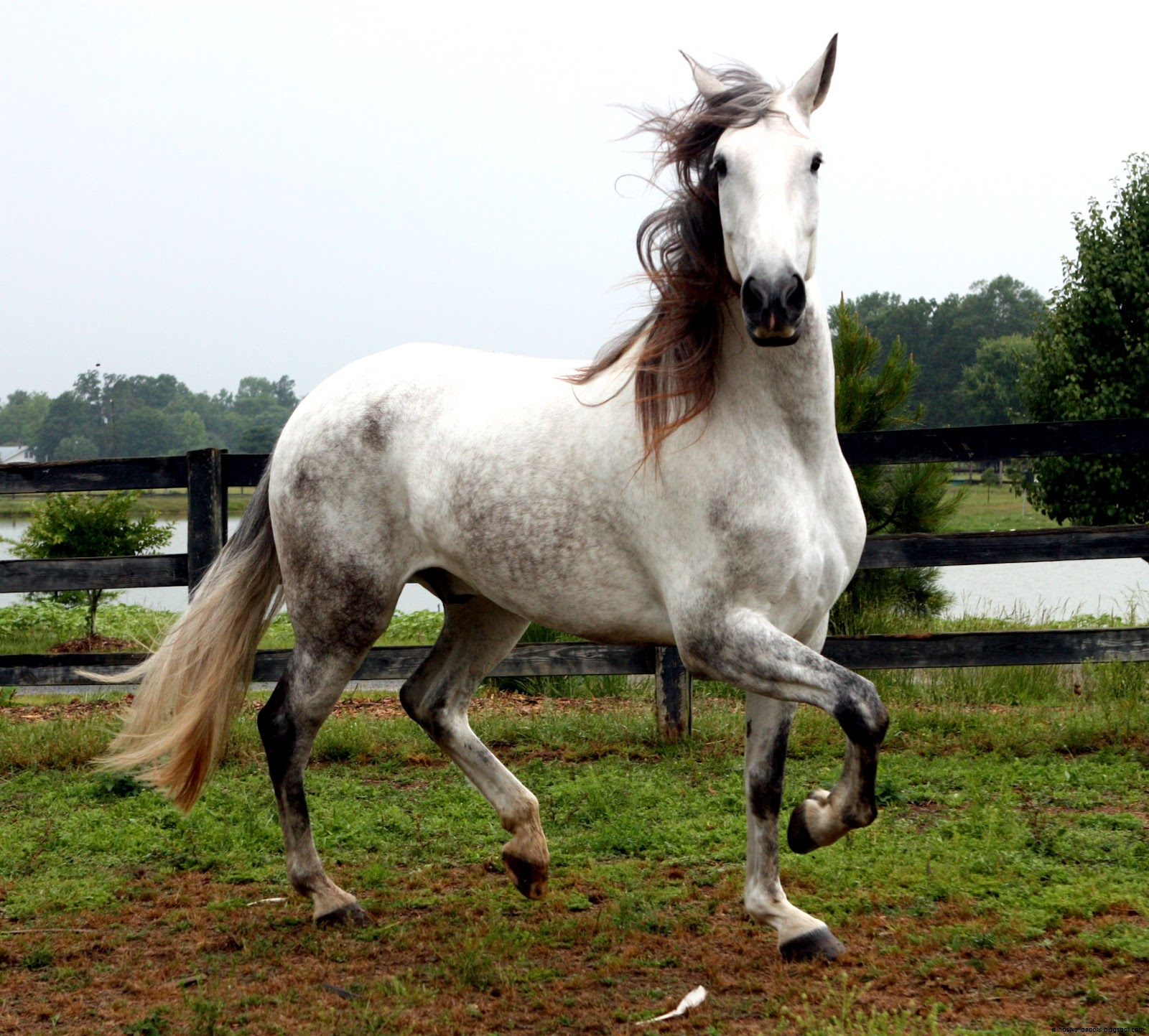 Andalusian Horse Photos All Hd Wallpapers