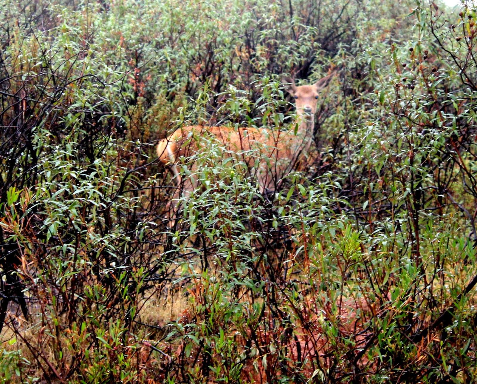 Berrea en Monfragüe, Ciervos, ciervo entre jara