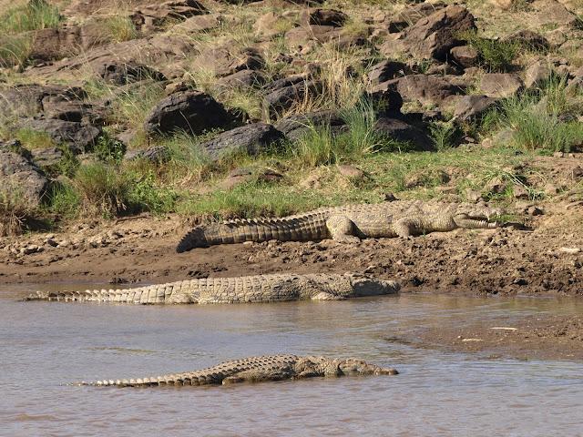 Coccodrilli del Nilo