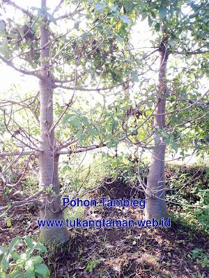 Jual Pohon Baobab | Pohon Ki Tambleg | Adonsonia Digitata | Pohon Kaki Gajah