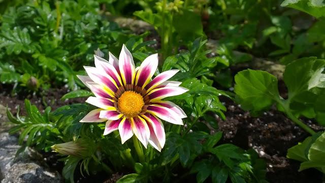 Kapkörbchen - geöffnete Blüten nur bei Sonnenschein (c)  by Joachim Wenk