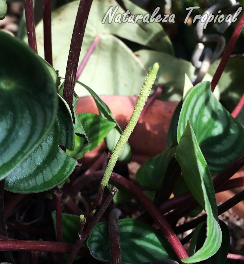 Inflorescencia en formación del Meloncito de Jardín, Peperomia argyreia o Peperomia sandersii