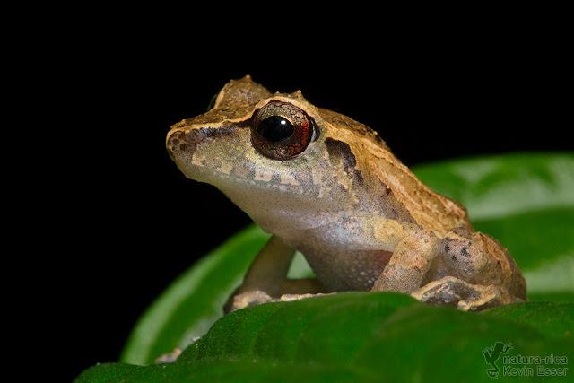Pristimantis ridens - Pygmy Robber Frog