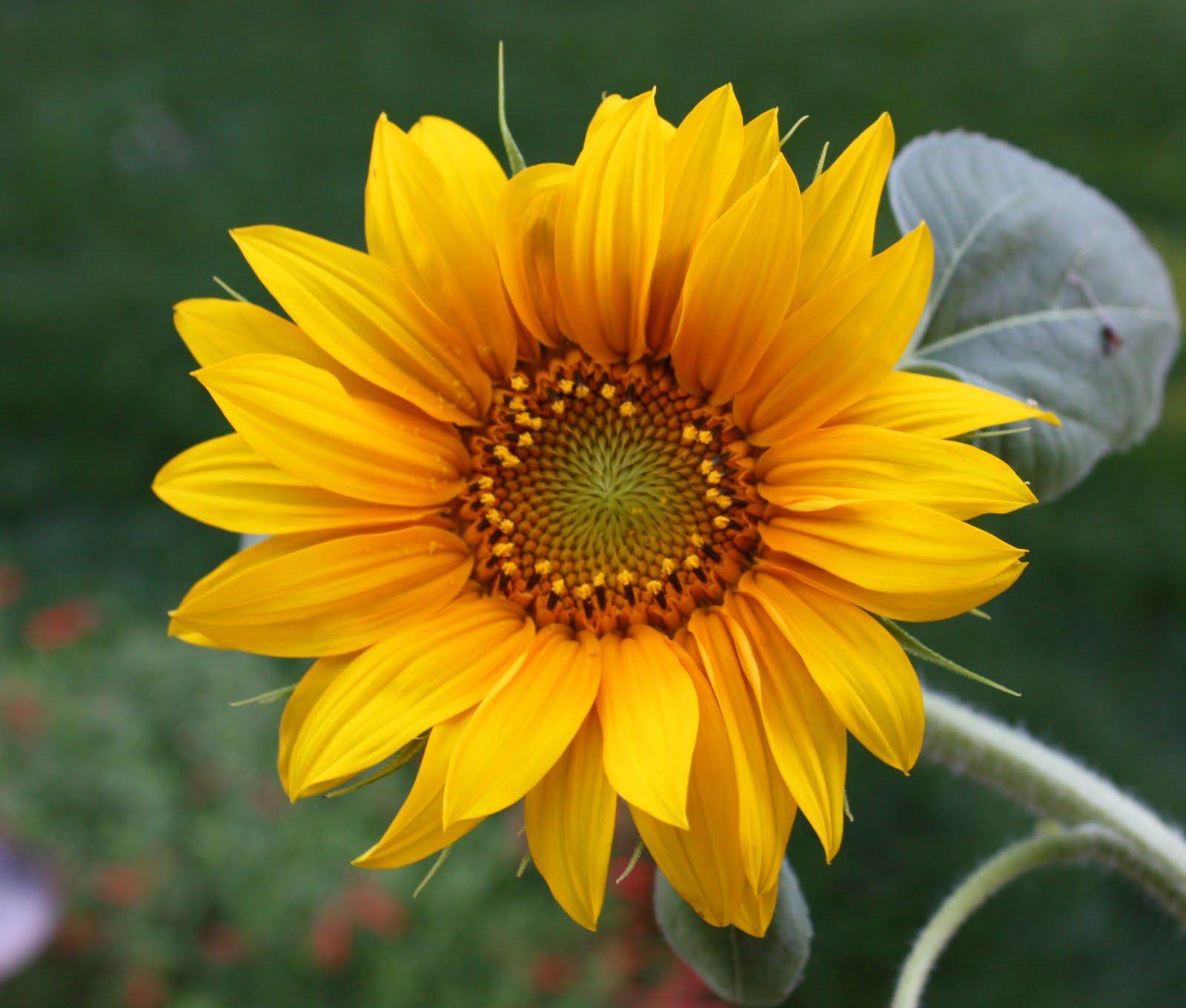 Koleksi Gambar Bunga Matahari Tercantik