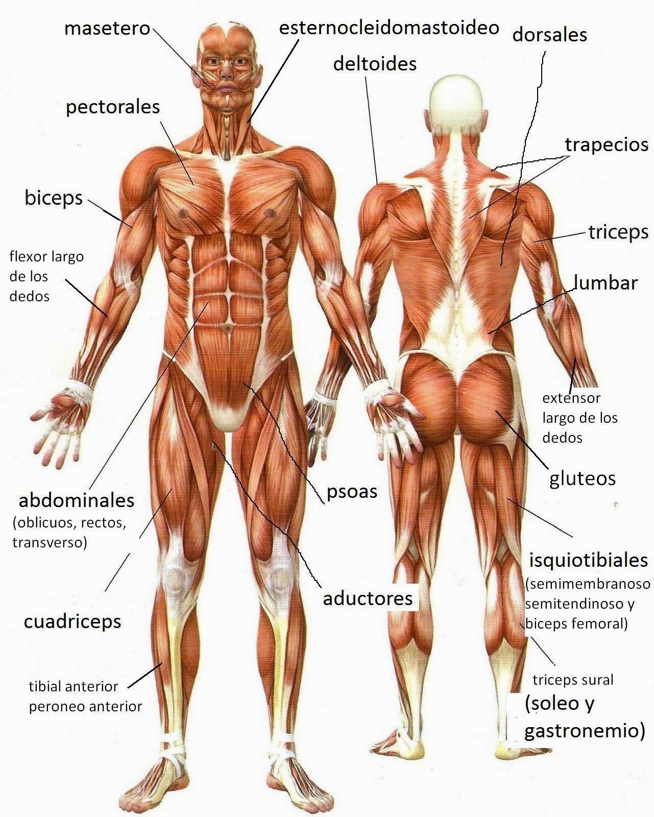 Único Ingle Tendones Y Ligamentos Anatomía Embellecimiento ...