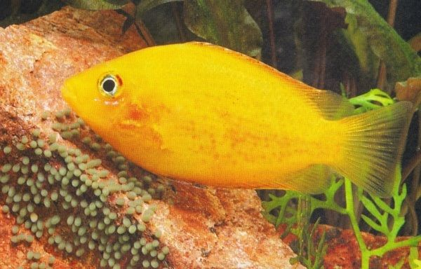 ikan hias air tawar tercantik