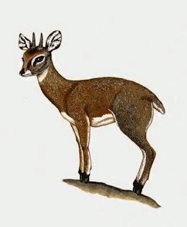 Antilope saltarrocas