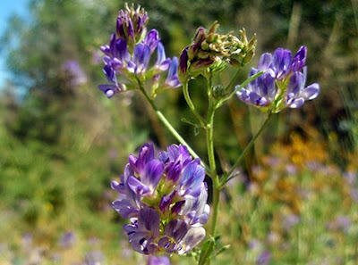 Flores moradas de la alfalfa (Medicago sativa) flor silvestre azul