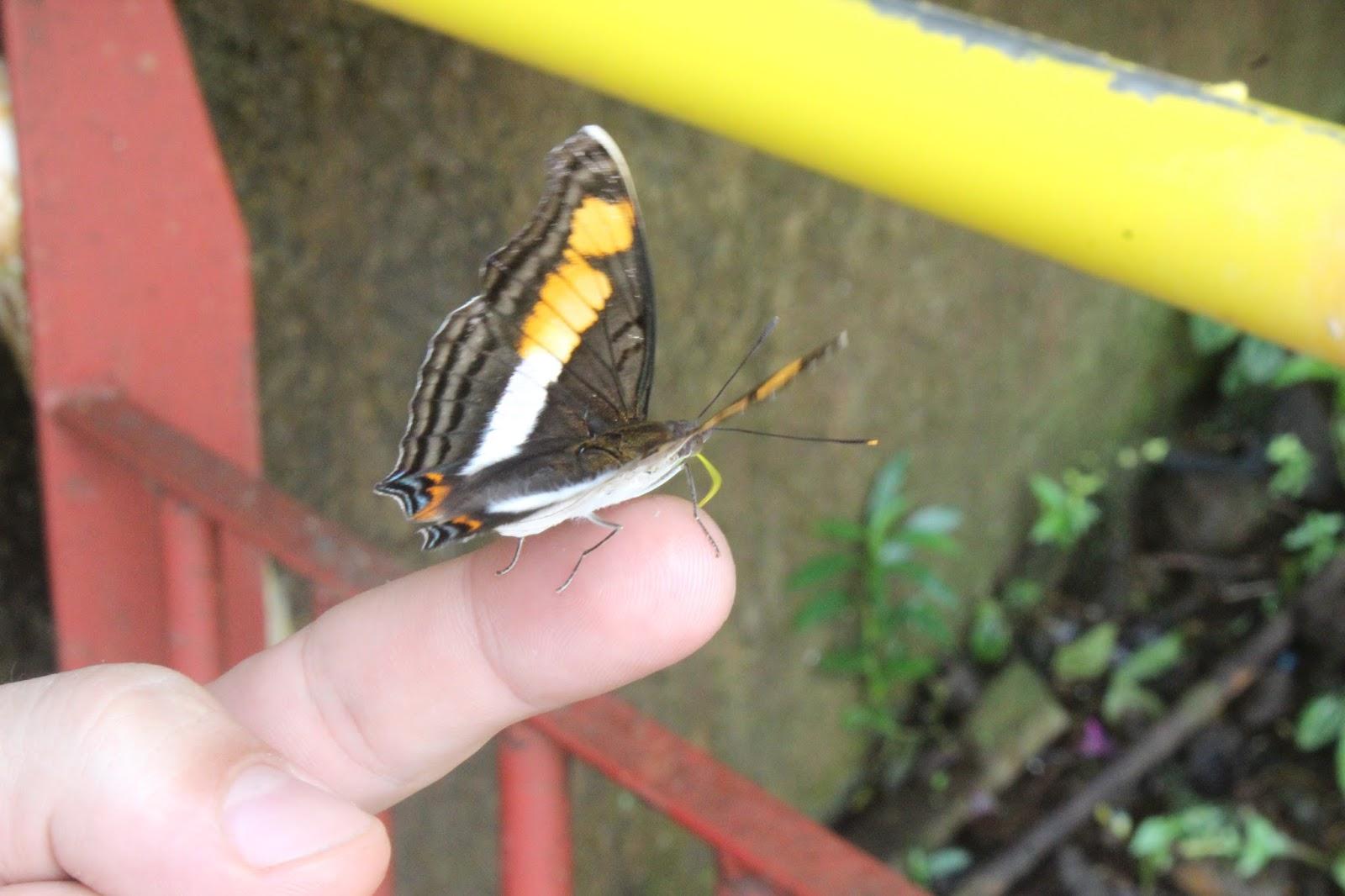 mariposa brasil