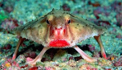 Batfish, Ikan yang Memiliki Bibir Merah Seksi
