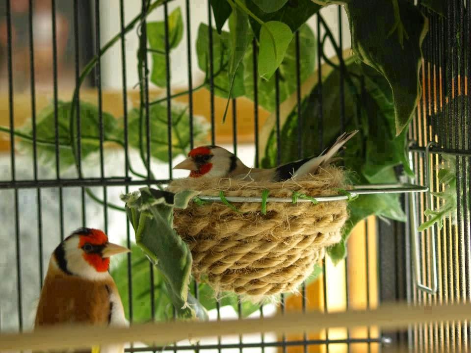 طائر الحسون غنتاج طائر الحسون بالقفص