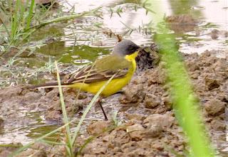 Western Yellow Wagtail, Blue-headed Wagtail, Motacilla flava thunbergi