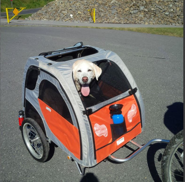 bike cart for dogs Yellow lab Baylee