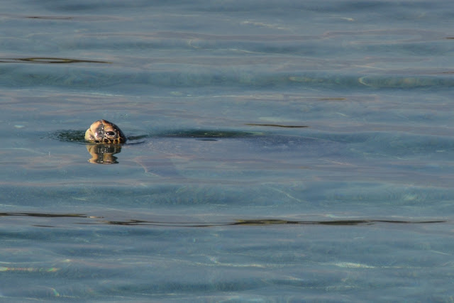 Espinoza Point turtle swimming