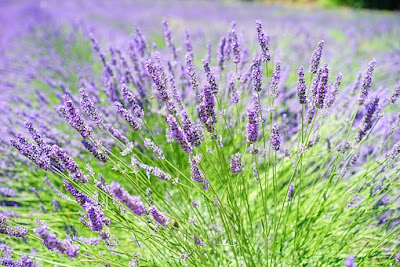 gardening | lavender