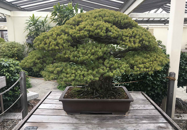 A LIVING MEMENTO: This 391-Year-Old Bonsai Tree Survived the Hiroshima Bombing!