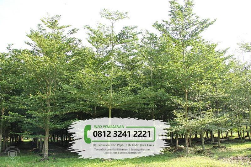 Jual Bibit & Benih Biji Pohon Ketapang Kencana
