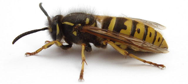 Himenopteros y zoologia