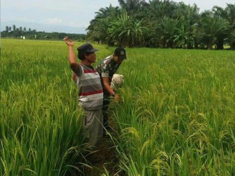 """Ketua PokTan """"Mandiri"""" Edi Lumban Raja didampingi Kopda Suwandi Memantau Perkembangan Tanaman Padi di Kel. Bukit Kubu"""