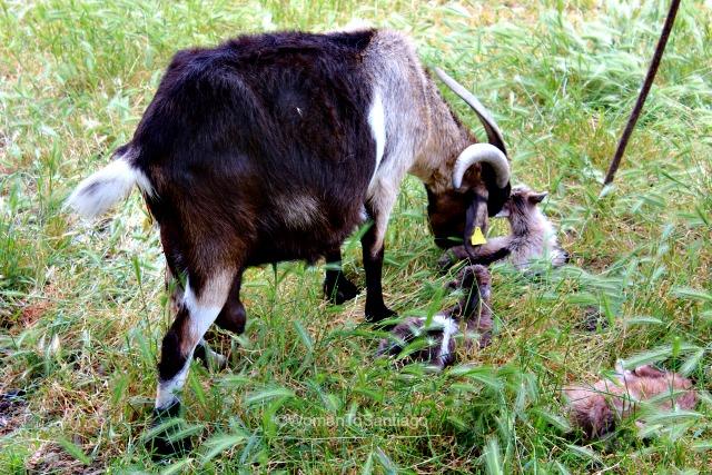 camino-frances-cabras-taller-del-camino-de-santiago-womantosantiago