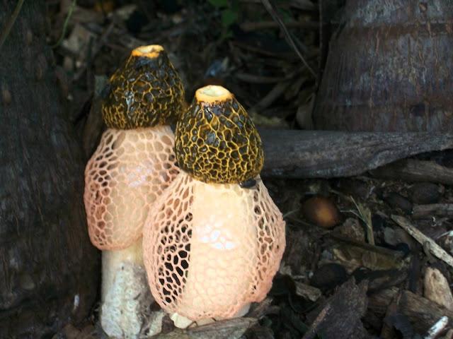 Phallus indusiatus, Stink Horn Mushroom
