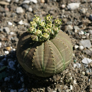 Euphorbe obèse - Euphorbia obesa - Euphorbia symmetrica