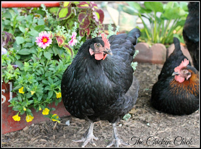 PULLET: a female chicken less than 1 year old.