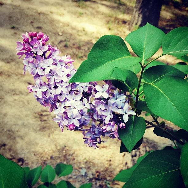 purple flowers, lilac bush