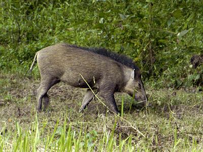 Selangor State Park - Taman Warisan Negeri Selangor: Wild ... Giant Wild Boars In Asia